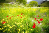 Poppy fields - Amari Valley