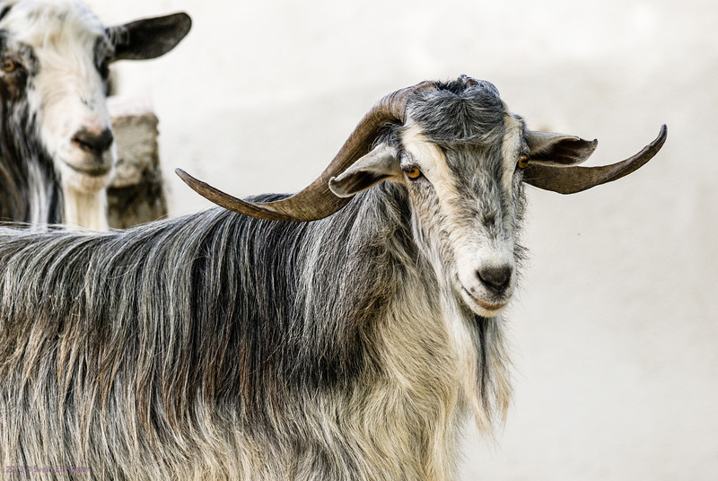 Large horn sheep