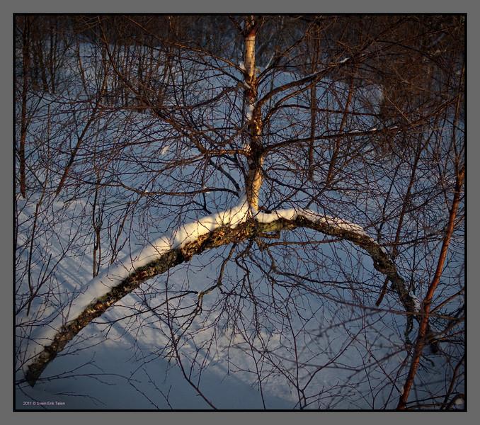 Birch tree arch<br /> Bodø backcountry