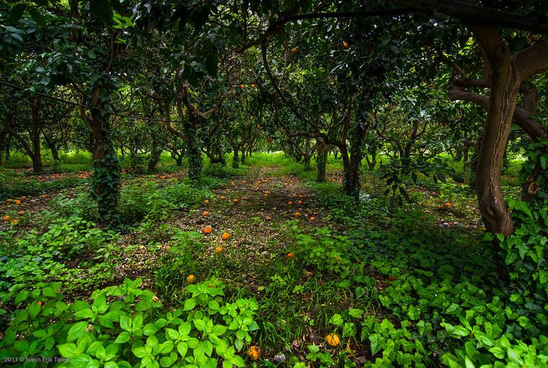 Orange grove - by Rema Keritis