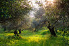 olive grove by Galatas