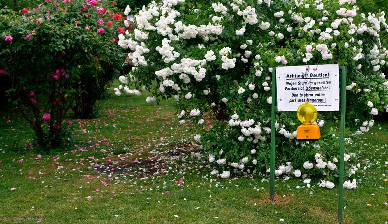Hazardous roses<br /> Storm warning in Volksgarten - the rose park