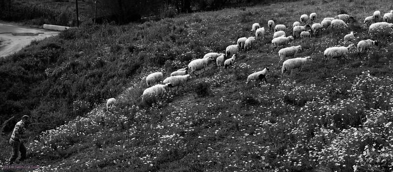 Herd- Kato Stalos