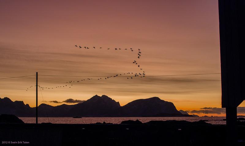 Great black cormorants (norw.: skarv) in formation