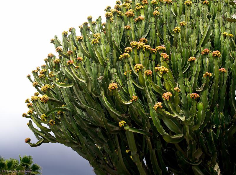 Cactus, <br /> Puerto Rico