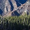Canary Island Spurge on a mountain side
