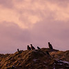 Sea eagles - and crows