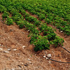 Every row has a water hose<br /> Farm, Puerto Rico backlands