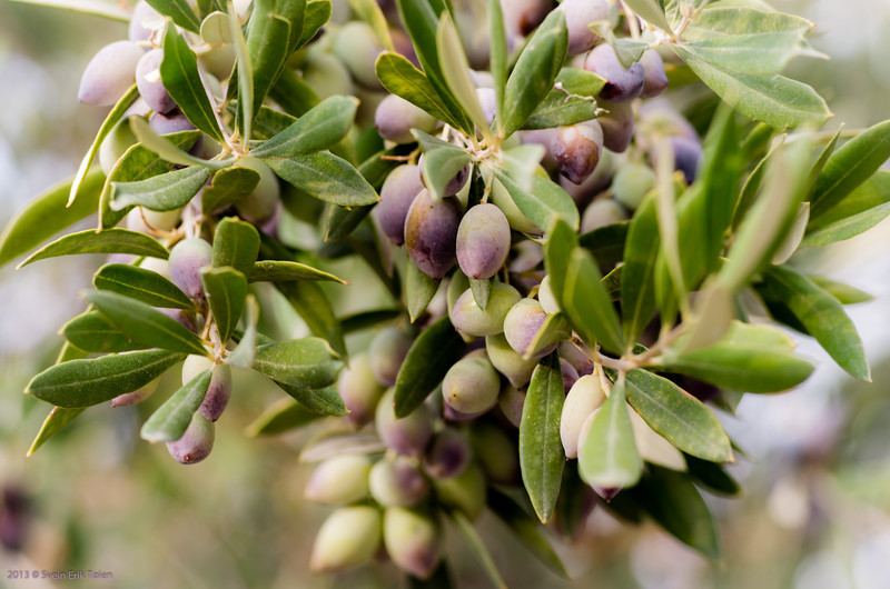 The ubiquitous olives - here in the valley beneath Polirinia