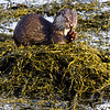 Dining on the seaweed<br /> Otter eating fish, the north bay by Nyksund
