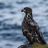 Young Sea eagle, Nyksund
