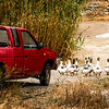 Pickup and geese<br /> Kissamos