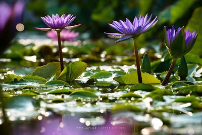 Water Lilies (Lotus)