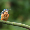 Kingfisher in Biesbosch