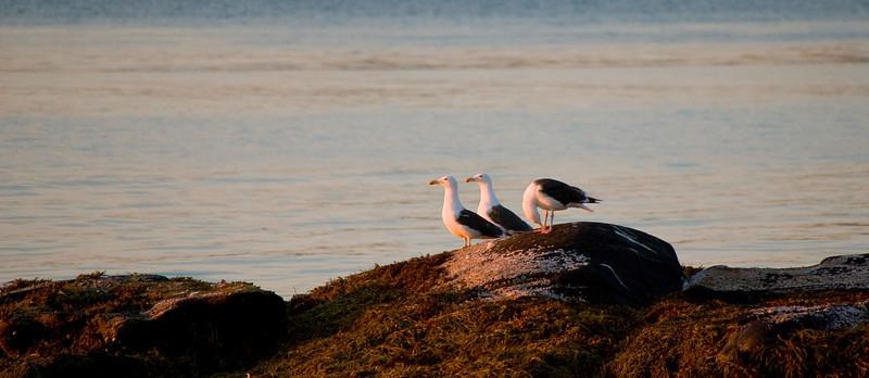 Seagulls at sunset<br /> Værøy