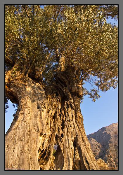 Old olive tree - I