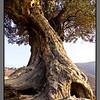 Old olive tree - III