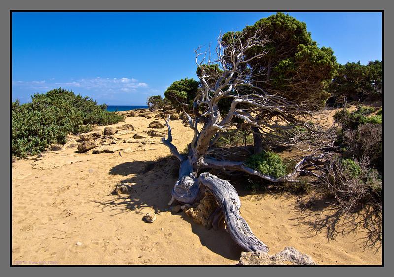 Pine tree - windblown!