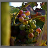Grapes<br /> Stalos