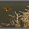 Small, busy life - I <br /> Wasp (I think) apporaching blooming treetop<br /> Loutro