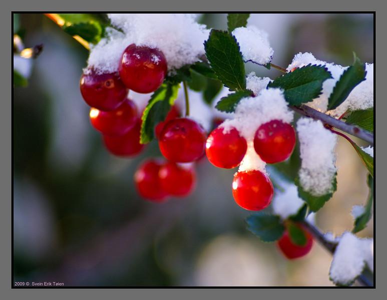 First autumn snow -IV<br /> Cherries in my garden, Bodø