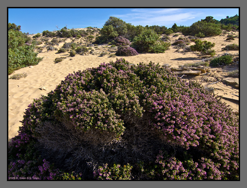 Huge bowls of heather blooming off the sandy soil
