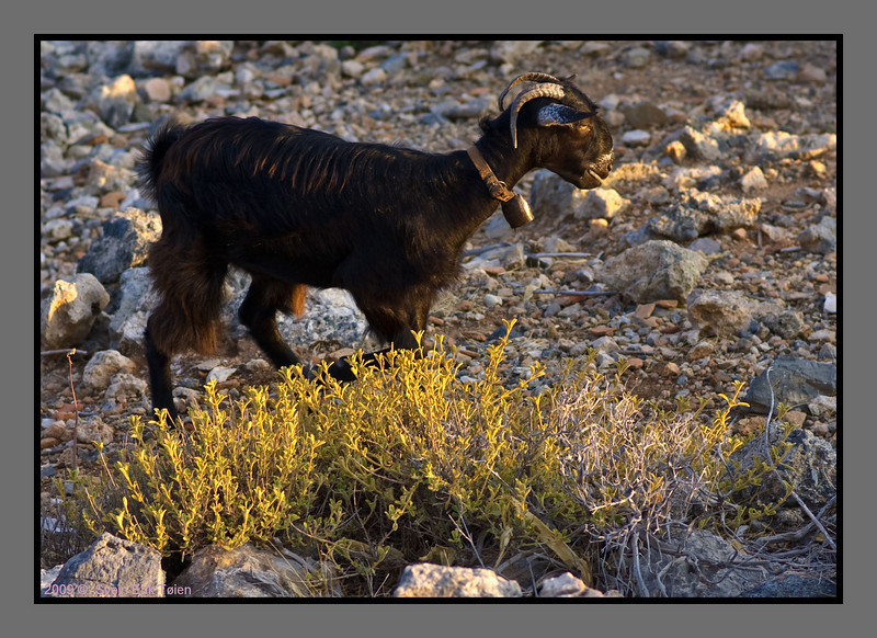 Local goat searching for food on the barren land