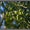 Olives - not ripe yet...<br /> Stalos