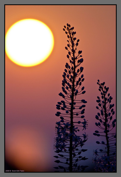 Cretan flower sunset