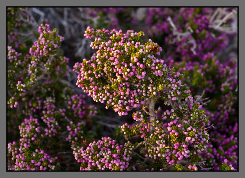 Blooming heather at the hilltop, catching the last beams of sun