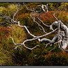 Twisted mountain birch<br /> Lurfjell, Nordland