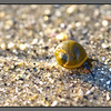 Slow track<br /> Small snail making its way along seabed at ebb tide, Mjelle