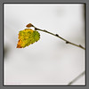 Transition I<br /> Birch leaf on the fringe of winter