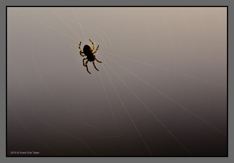 Small spider finishing up its net<br /> (Creature about 3 mm long)