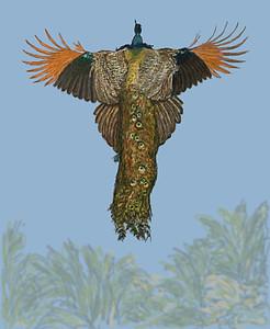 Phoenix Rising - a peacock in flight