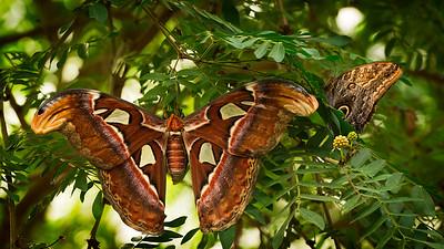 Atlas Moth in a Tree