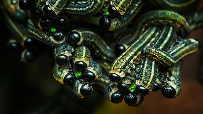 European Pine Sawfly Larvae