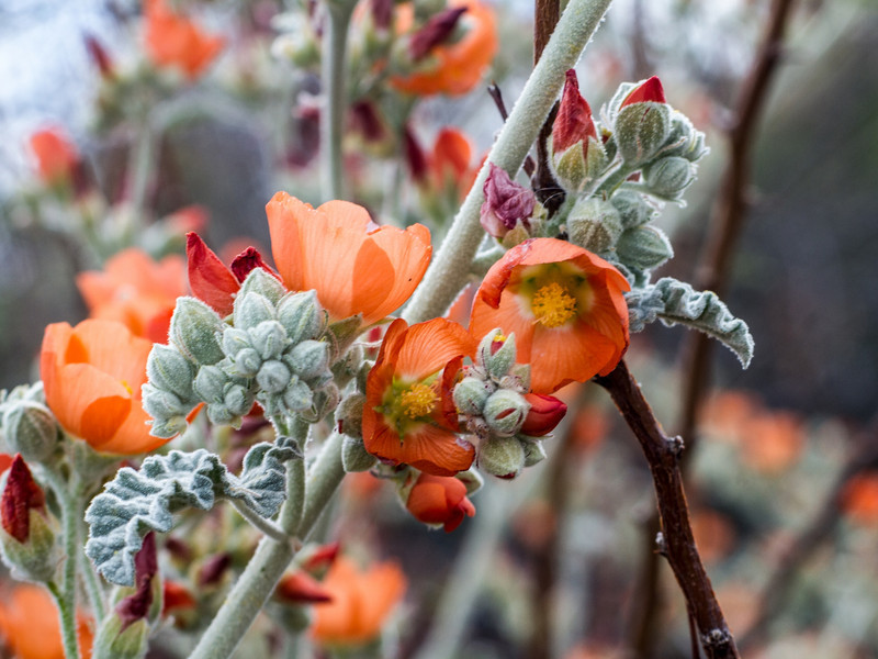 Globe Mallow blooms (orange)