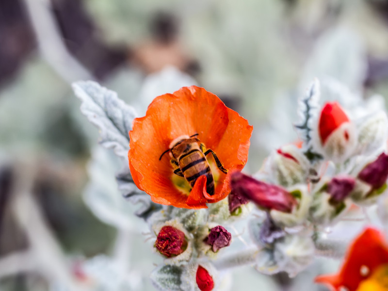Globe Mallow with a bee