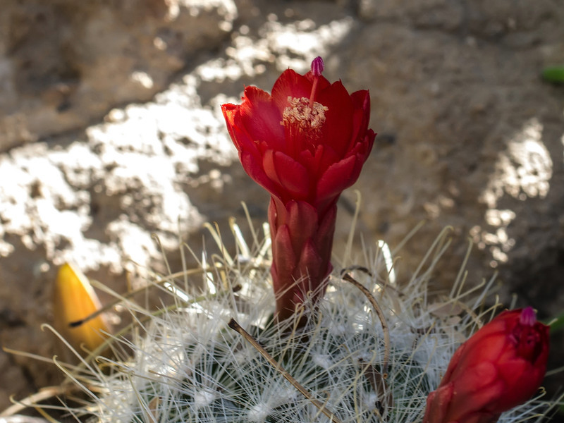 Red Small Cactus Bloom