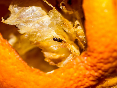 An insect eating the inside of an orange (resized image - 2048 x 1536 pixels)