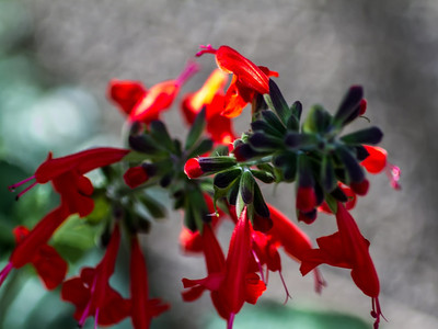 Penstemon blooms