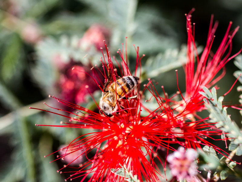 Red Fairy Duster blossom with a bee