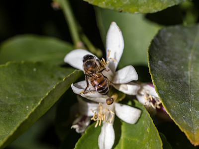Lemon blossom with a bee
