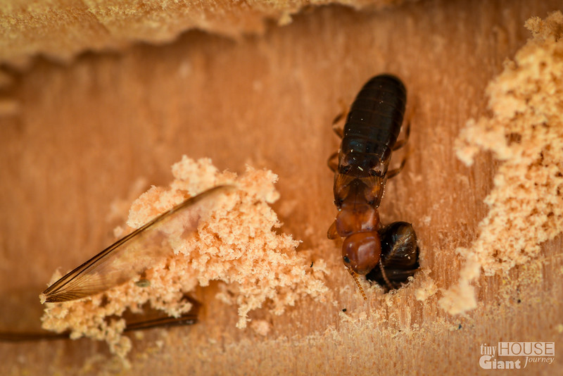 Tiny House Termites