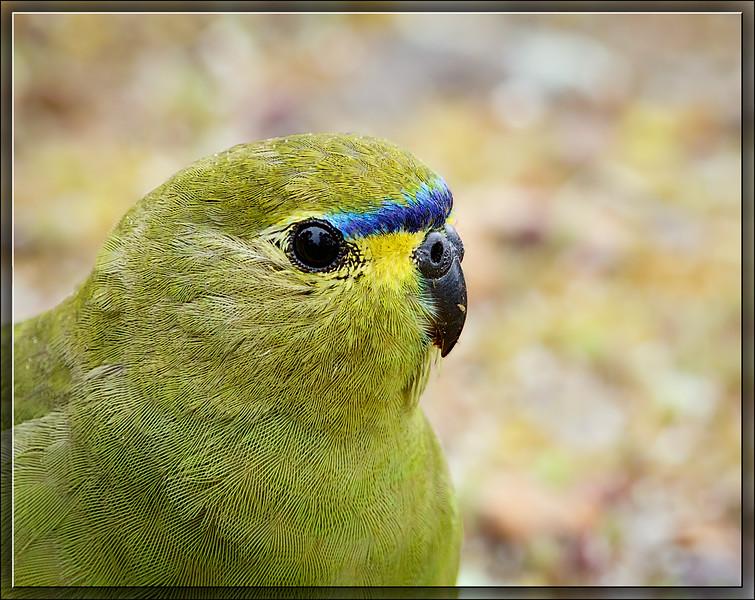 Elegant Parrot♂