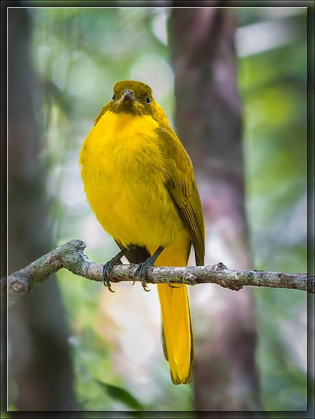 Golden Bowerbird♂