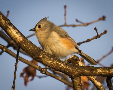Tufted Titmouse in Winter at Millers Grove in Olney