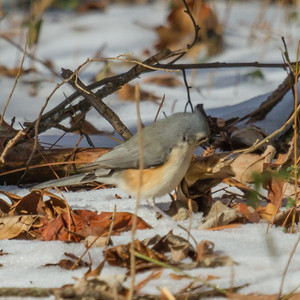Titmouse Foraging in the Snow