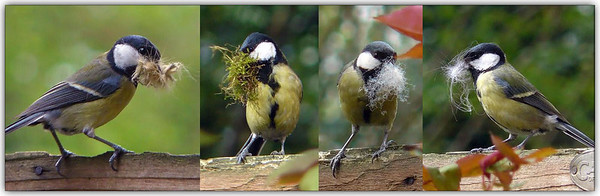 Great Tit (Parus Major) [female]. A composite to show the variety of nesting material the female used.